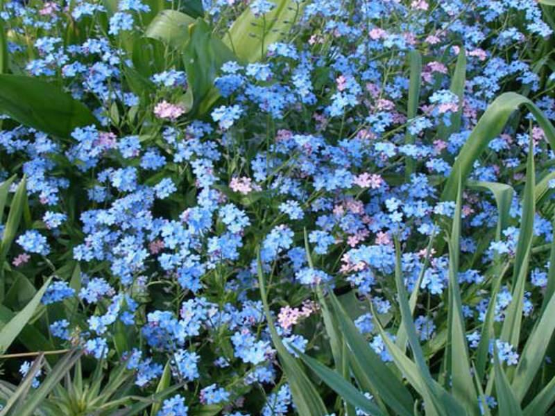 Голубые цветы незабудки