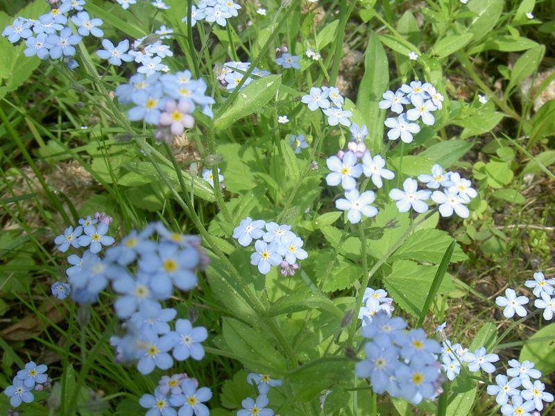 Незабудка цветок в саду