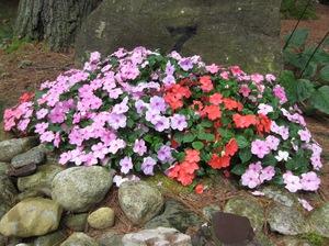 Бальзамин садовый: сорта с фото, выращивание из семян в домашних условиях, посадка и уход в открытом грунте