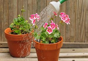 Как правильно посадить герань отростком в домашних условиях?