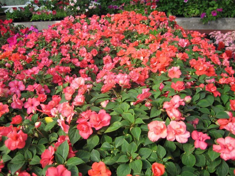 Ампельные комнатные цветы фото названия и уход