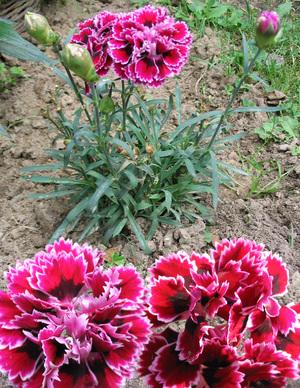 Почему не цветёт турецкая гвоздика