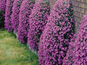 Аубреция (обриета) описание и разновидности, выращивание из семян и когда сажать, способы посадки