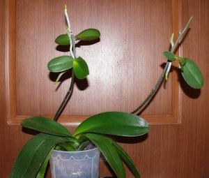 Как могут размножаться орхидеи в домашних условиях: деление корня, использование черенков и другие способы