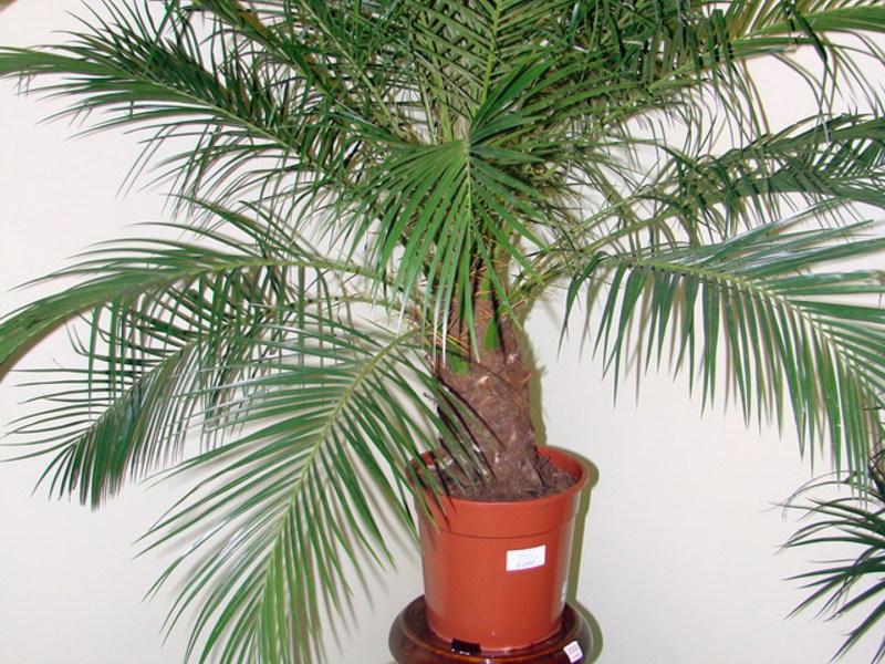 Выращивание пальмы в домашних условиях