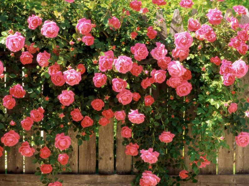 Многолетние розы для дачи купить подарок любимой на 8 марта идеи