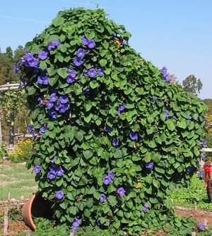 Многолетние лианы в саду как часть ландшафтного дизайна