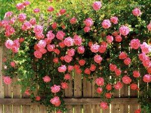 Роза плетистая - очень красивые цветы.