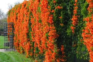 Кампарис отличается необычной формой цветка, похожей на трубочку
