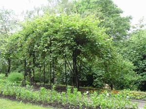 Актинидия - распространенное растение для сада