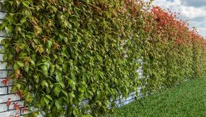 Дикий виноград очень часто оплетает стены домов, беседки.