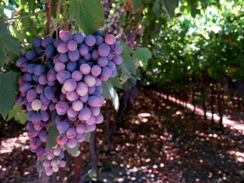 Виноград отличается значительным разнообразием сортов.