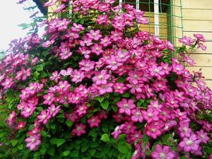 Клематис отличается яркими красивыми цветами.