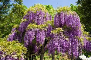Глициния в период цветения поражает воображение