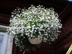 Посадка и уход за лобелией виды, агротехника выращивания, фото цветов