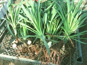 Юкка садовая виды для открытого грунта с фото, особенности посадки, ухода и пересадки