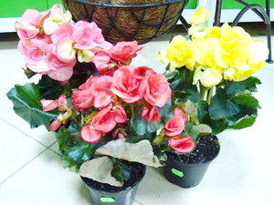 Комнатный цветок бегония: уход в домашних условиях с фото 34