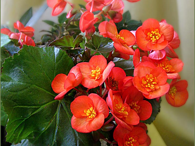 Комнатный цветок бегония: уход в домашних условиях с фото 27