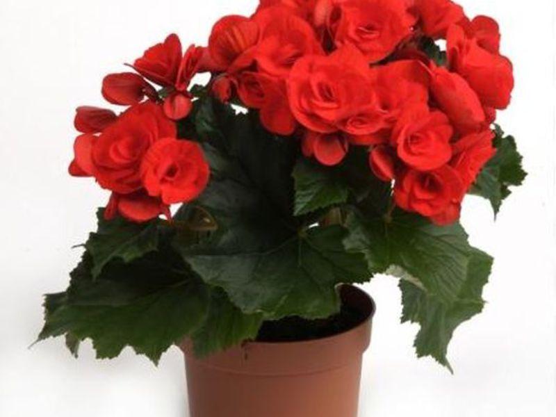 Комнатный цветок бегония: уход в домашних условиях с фото 83
