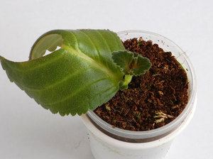 глоксиния уход в домашних условиях фото размножение