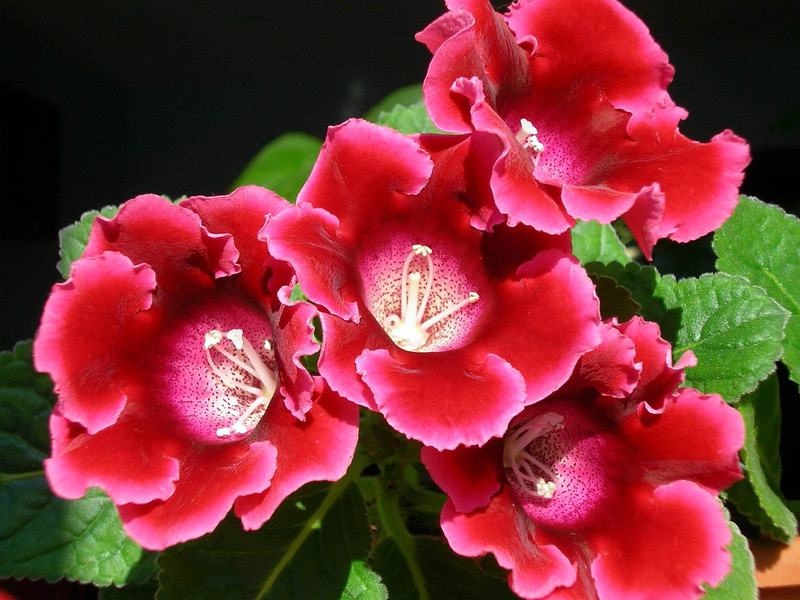 Глоксиния комнатная: фото цветов, описание, уход 44