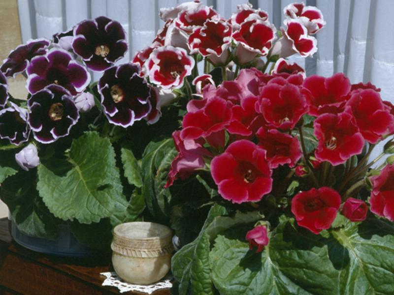 Фото комнатных цветов глоксинии