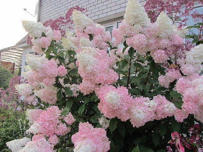 Как засушить цветы гортензии метельчатой