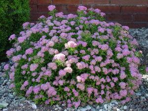 Спирея японская - особенности растения