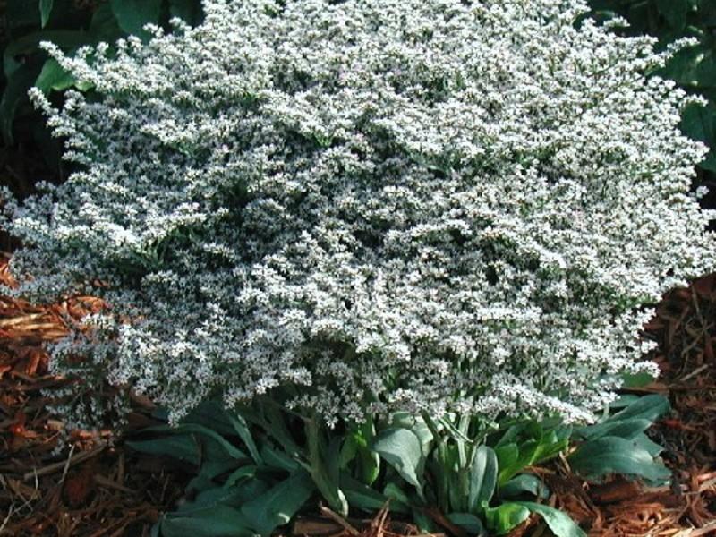 Садовое растение статица