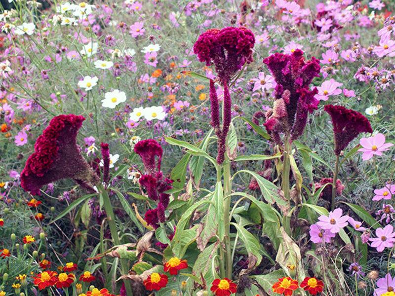 цветы целозия посадка и уход фото