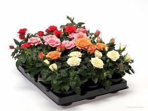 Роза мини комнатная уход в домашних условиях