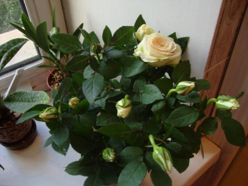 Миниатюрная роза уход в домашних условиях фото
