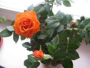 Освещение для розы мини микс нужно создавать очень внимательно.