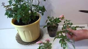 Обрезка розы мини микс дома