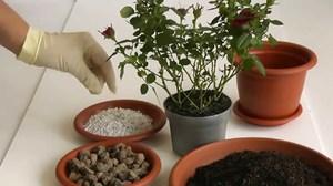 Домашняя роза - особенности ухода за горшечным растением.