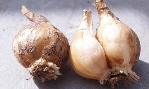 Как ухаживать за нарциссом особенности выращивания, ухода и посадки, как хранить луковицы