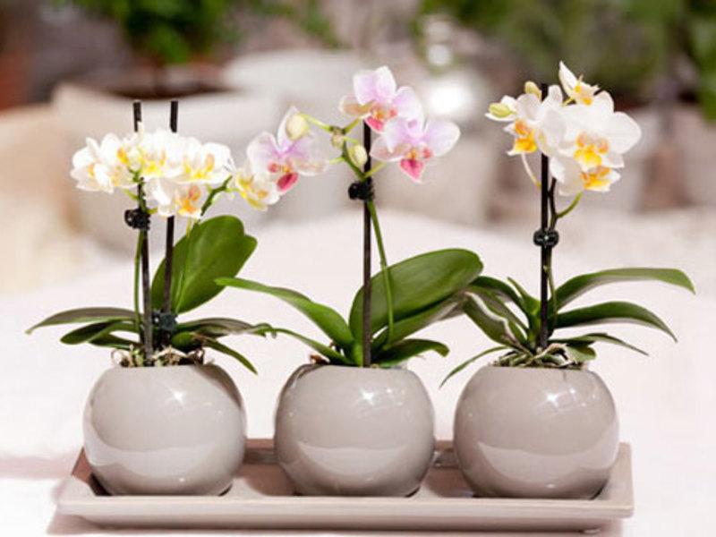Орхидея фаленопсис - размножение детками