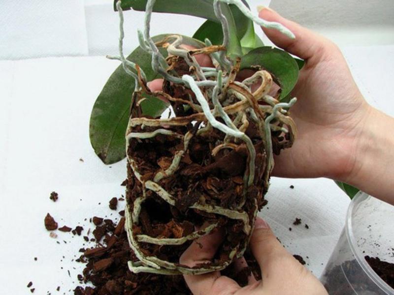 Правила пересадки орхидеи