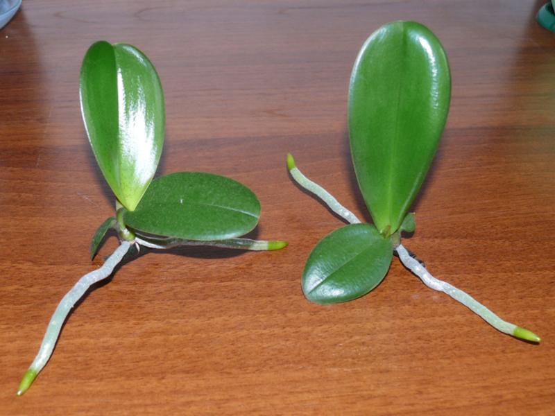 Орхидея фаленопсис в домашних условиях видео
