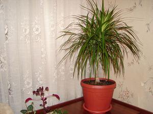Особенности выращивания драцен в домашних условиях