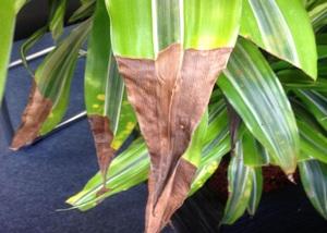 Причины высыхания у драцен кончиков листьев и методы лечения