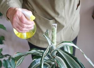 Почему сохнут кончики листьев у драцены