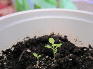 Уход за буддлеей описание растения и виды, сорт буддлея Давида выращивание из семян, посадка