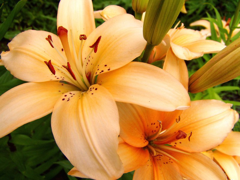 фото цветов лилии с названиями