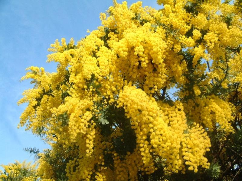 Мимоза Mimosa описание и уход на