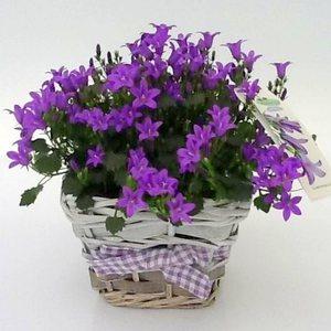 Колокольчики в горшке - домашние цветы