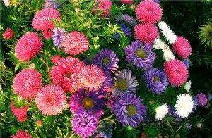 Астра - особенности и разновидности цветка