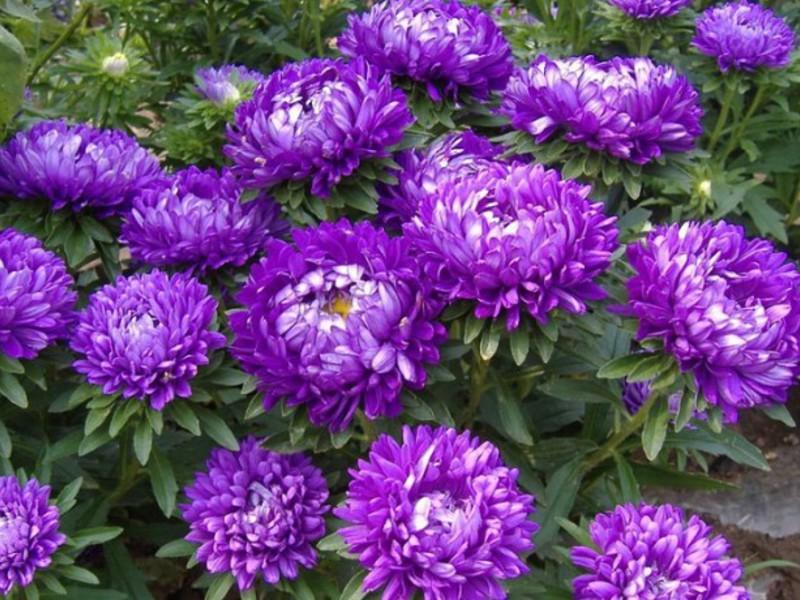 Фиолетовая я астра Розанна - фото цветов.