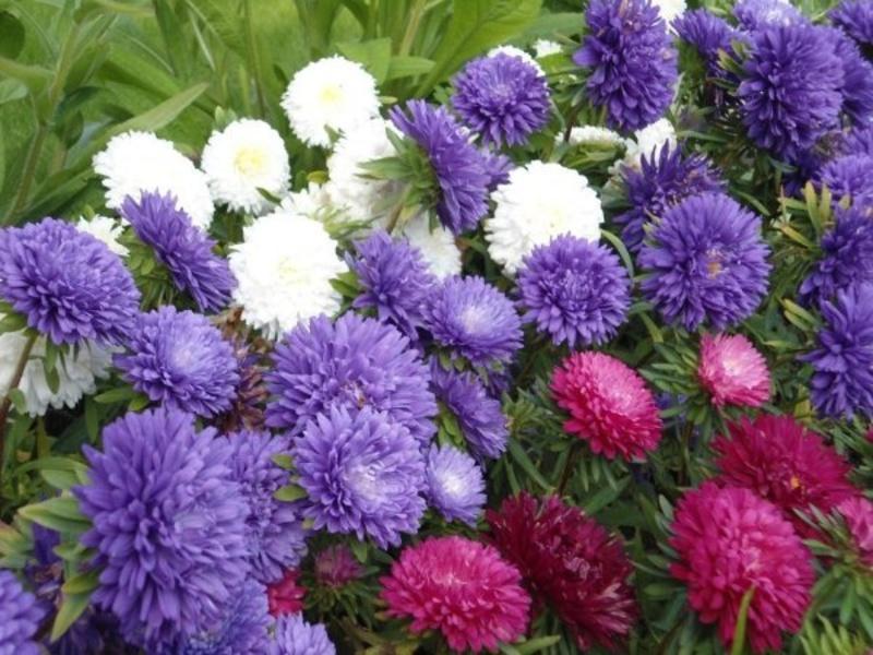 Растения для клумбы: цветы с 5