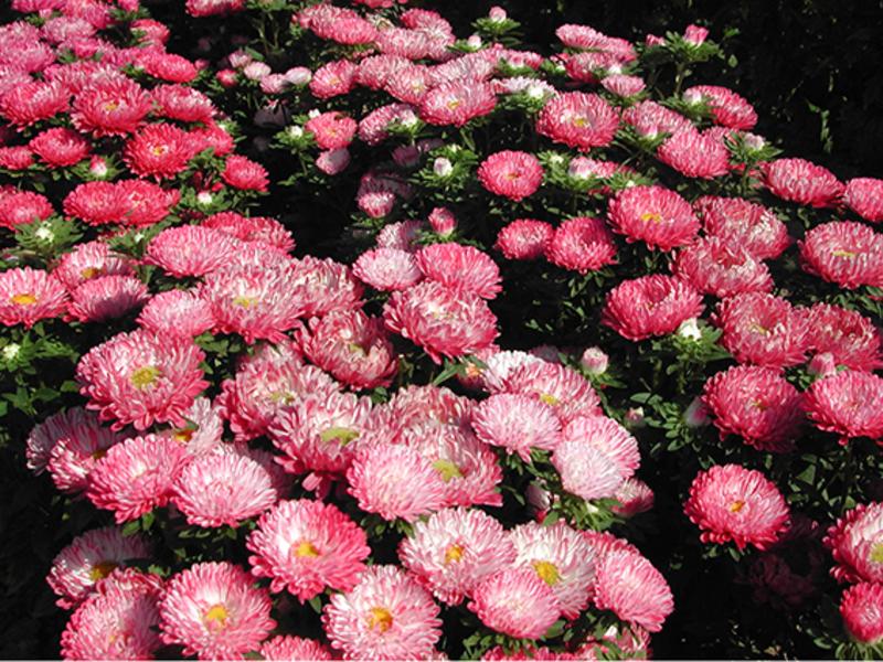 Астра Роза турм - очень красивый высокий куст.
